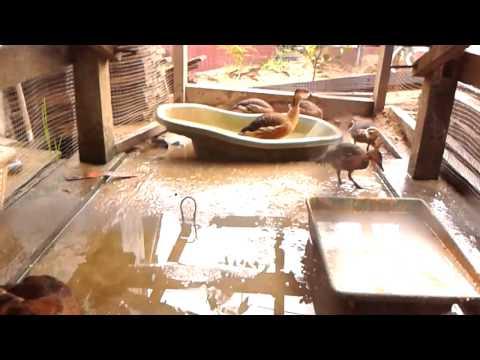 Suara Burung belibis (wild duck)