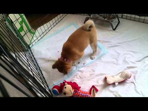 Mochi first day home, puppy shiba inu