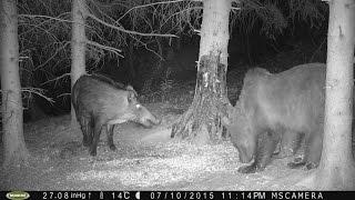 diviačica vs. medveď