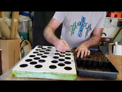 Step 6. Fork seedlings out of cells and place into net pots