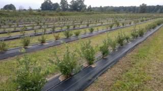 Borwówka wysoka (cz. I) - na plantacji w Żelimmusze