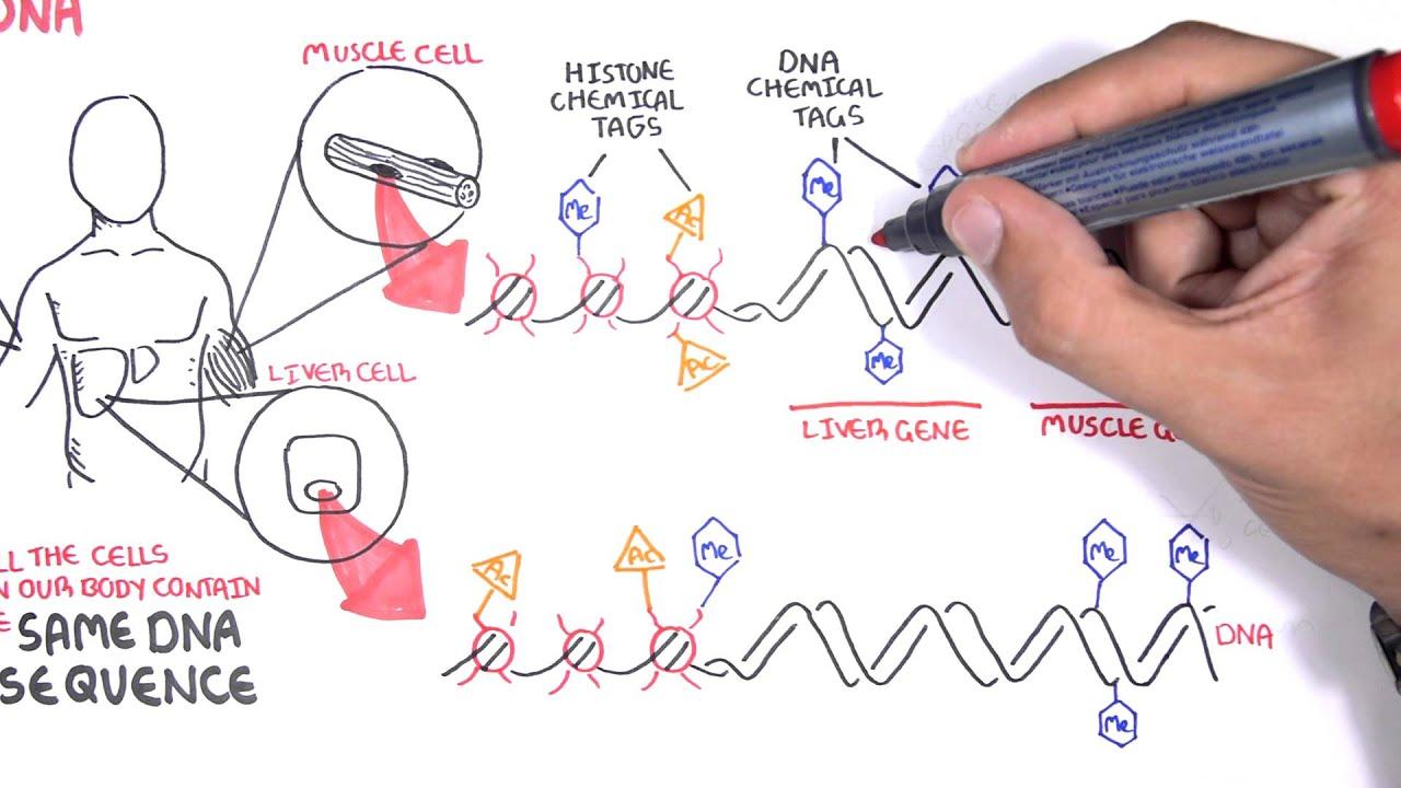 Epigenetics basics - Garvan Institute
