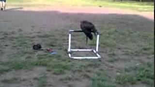 MESSI (Brahminy Kite) Outdoor Training 1