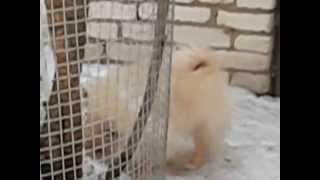 For Sale Pomeranian Male Elegance And Charm Iz Knyaginino. Age 4 Months
