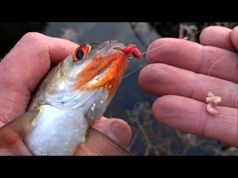 Coarse / Float Fishing For Roach Perch Rudd: Red Maggots Vs White. Рыбалка на опарыши плотва окунь