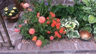 Розы у нас на даче. Украшают сад все лето непрерывным цветением.