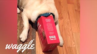 Pets Who Love Cardboard Boxes | Funny Pet Compilation