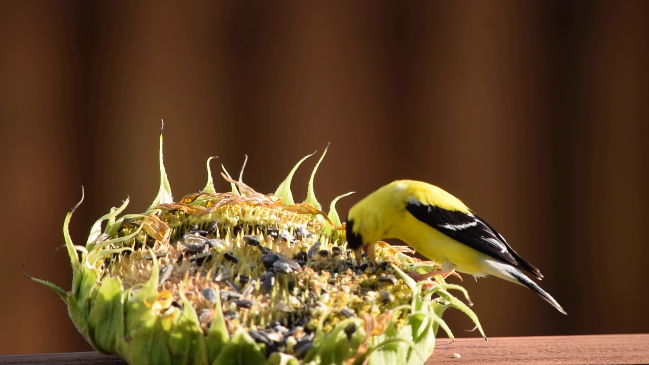Yellow Finch Feeds on Sunflower