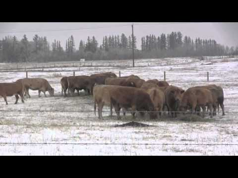 Beef Research School - Using RFI to Select for Feed Efficiency