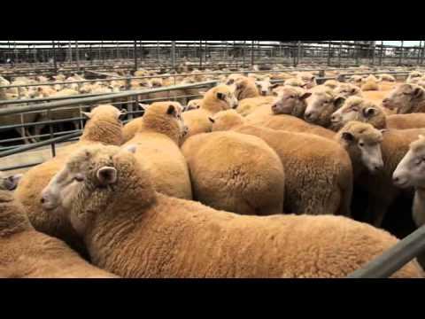 Poll Dorset - Lamb Supreme