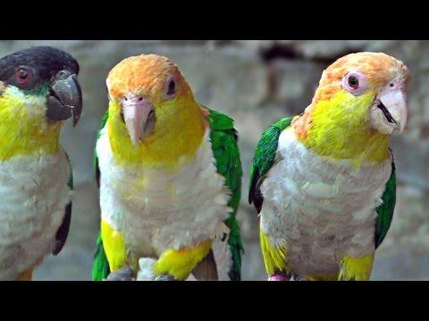 Caique Parrots – Exotic Birds