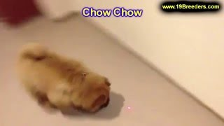 Chow Chow, Puppies, For, Sale, In, Houston, Texas, Tx, Mcallen, Mckinney, Mesquite, Plano