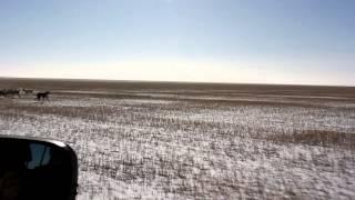 казахские тазы охота на лис часть 3