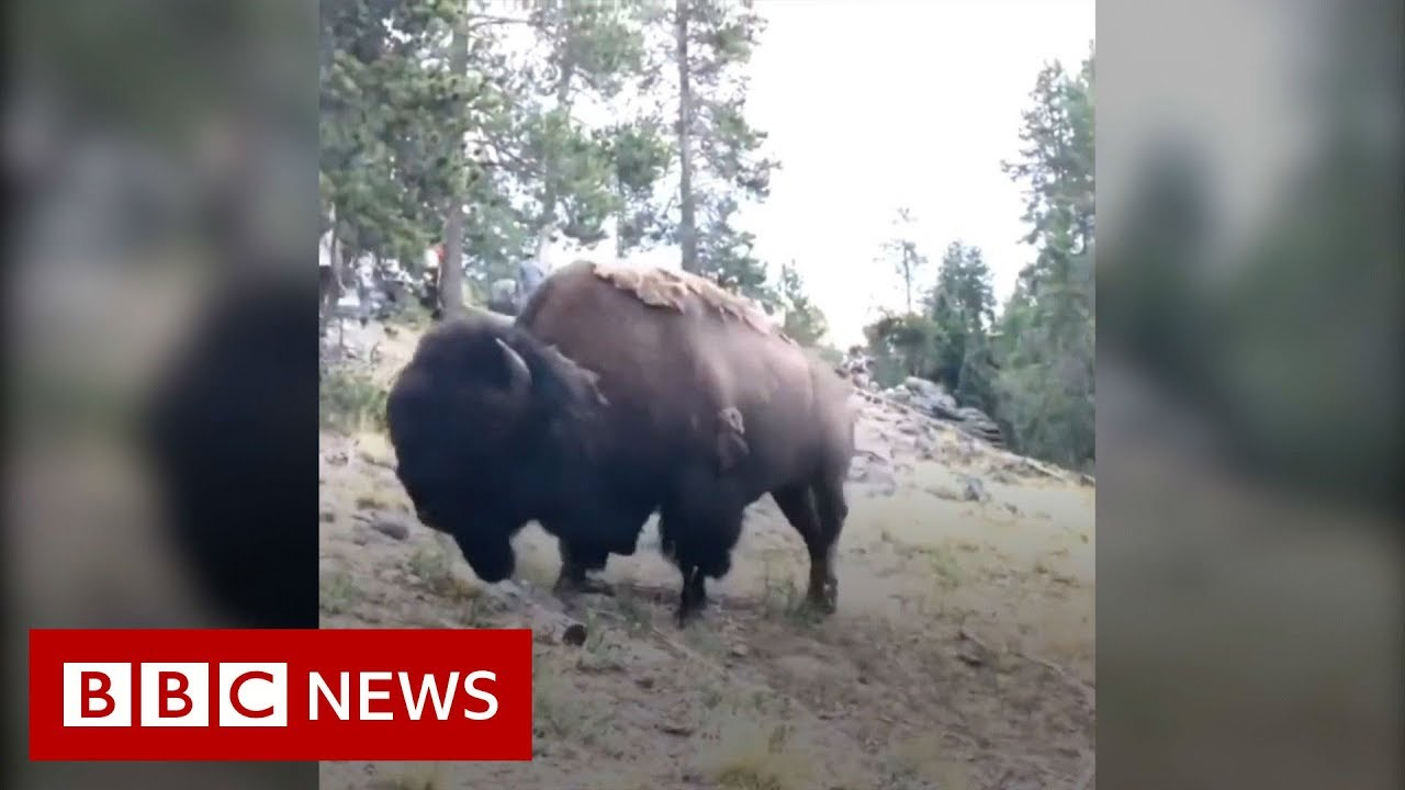 bison charges at girl