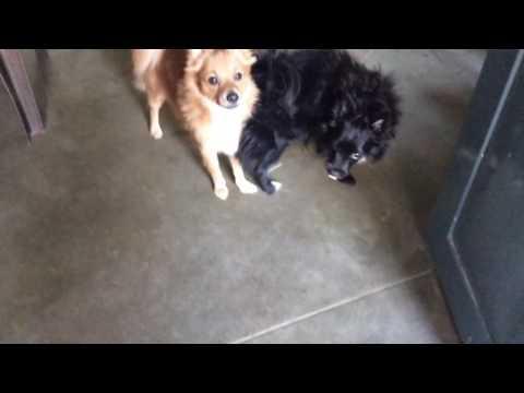 POMERANIAN DOGS 4