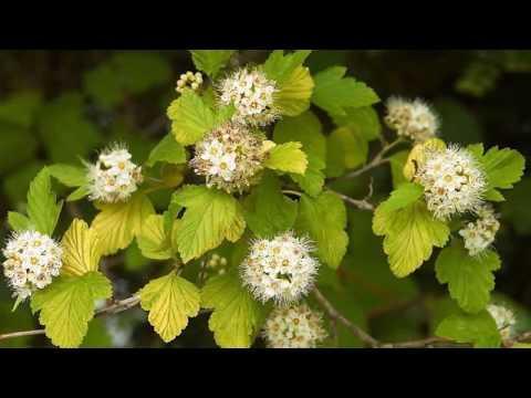 Luteus Hólyagvessző / Physocarpus Opulifolius 'Luteus'