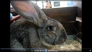 Гигантский домашний кролик с большими ушами Rabbit big ears