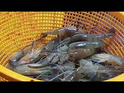 Саворин (Варехоу). Каталог промысловых рыб Аква Продукт