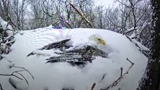 Snow Covered Bald Eagle Shakes Snow off of Wings. Amazing!