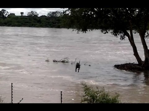 Kruger National Park Floods 2014 - Baboons Swim To Safer Ground & Phalaborwa