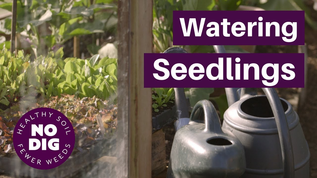 Watering Seedlings Methods Times Of Day How Much Water Time Between