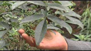 China: Growing Peppercorns to Control Soil Erosion