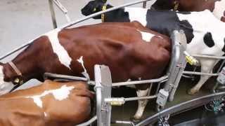 Økomælkeproducent med eget kødkoncept - Hærvejs Okse