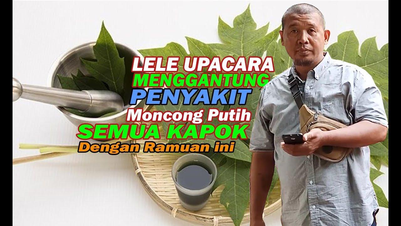 Lele Upacara Menggantung Kembung Dan Luka Di Moncong Kapok Dengan Ramuan Ini Youtube