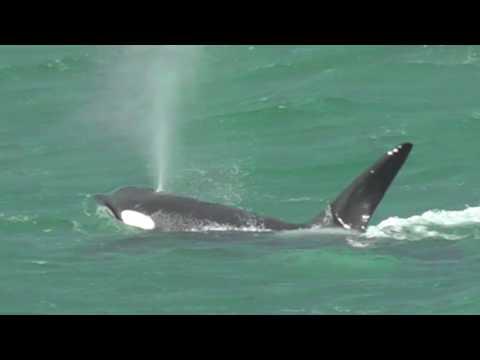Orcas of Peninsula Valdes