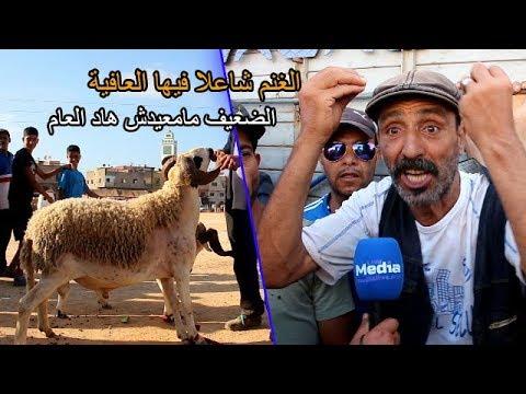 الغنم شاعلا فيها العافية .. الضعيف مامعيدش هاد العام والكسابة يوضحون علاش الغلا !!