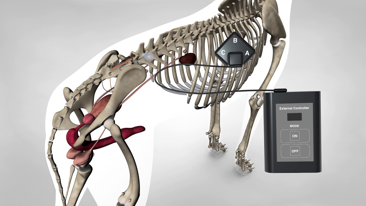 Canine sacral implant incontinence - dogs with spinal cord injury ...