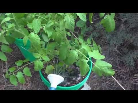 Staking Indeterminate Early Girl Tomatoes - 4 Week Progress