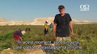 Desertul infloreste, o planta straveche revine la viata. Poate fi folosita in viitorul templu?
