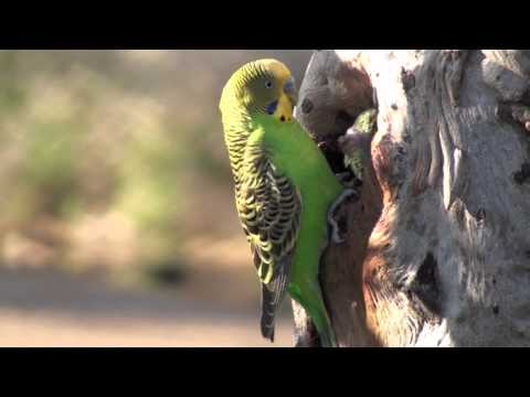 The Budgie Tree: Wild budgies breeding and feeding their young