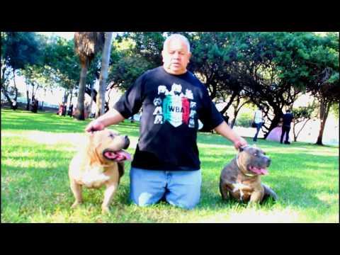 BLAST.TV WBA DIEGO GARCIA AMERICAN BULLY BREEDER CACHORROS A LA VENTA AMERICAN BULLY