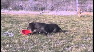 Kelpie Puppies Training