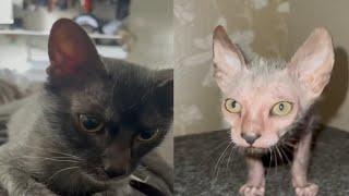 VERY BEAUTIFUL LYKOI CATS