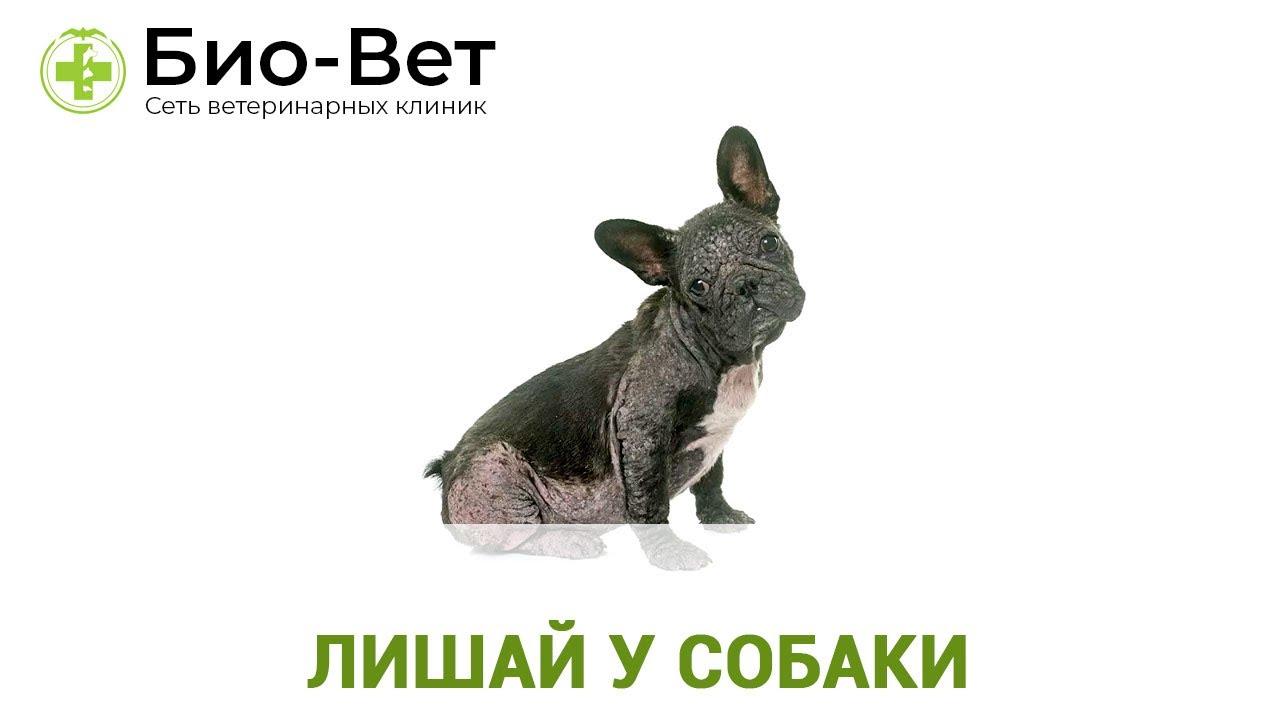 Лишай у Собаки - Признаки, Лечение и Что Делать? // Сеть ...