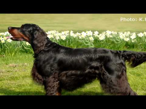 Gordon Setter Heartworm Prevention