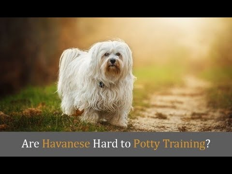 Havanese dog Full Information And How to train and where it found