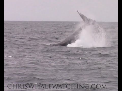 7.25.17 Humpback Whales, Pacific White-sided Dolphin & Northern Right-whale Dolphin #Monterey