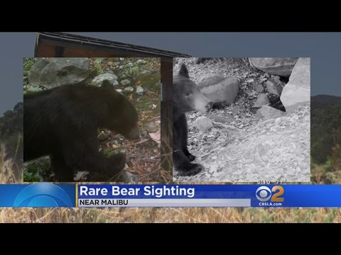 Rare Black Bear Sighting Caught On Tape In Santa Monica Mountains
