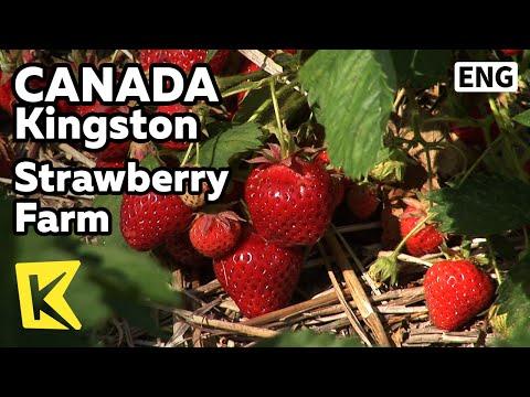 【K】Canada Travel-Kingston[캐나다 여행-킹스턴]유기농 딸기 농장/Strawberry Farm/Organic