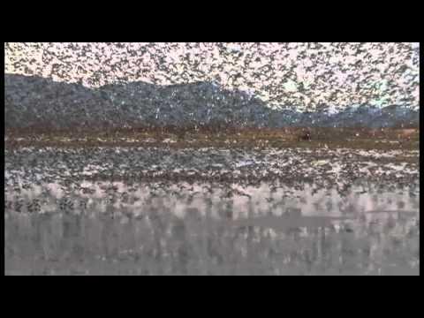 Dance of the Shorebirds