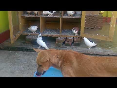 pigeons / Kabutar