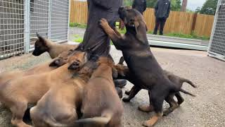 Malinois Puppies