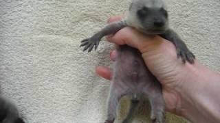 Newborn baby raccoons, crying, yawning, Animal Advocates, Mary Cummins