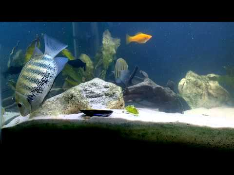 Green chromides (Etroplus suratensis) making a mess. - YouTube