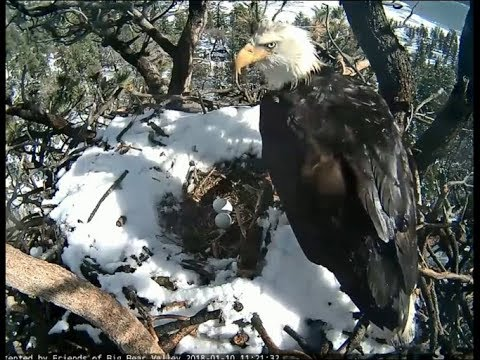 Big Bear Eagle Cam ~ Mr. BB Brings A Fish For The Mrs. 1.10.18