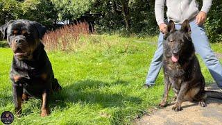 Rottweiler VS DDR German Shepherd